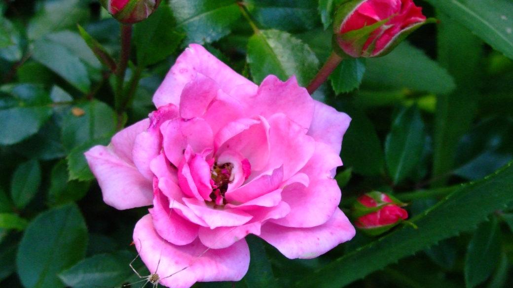 Der Duft der Rosen